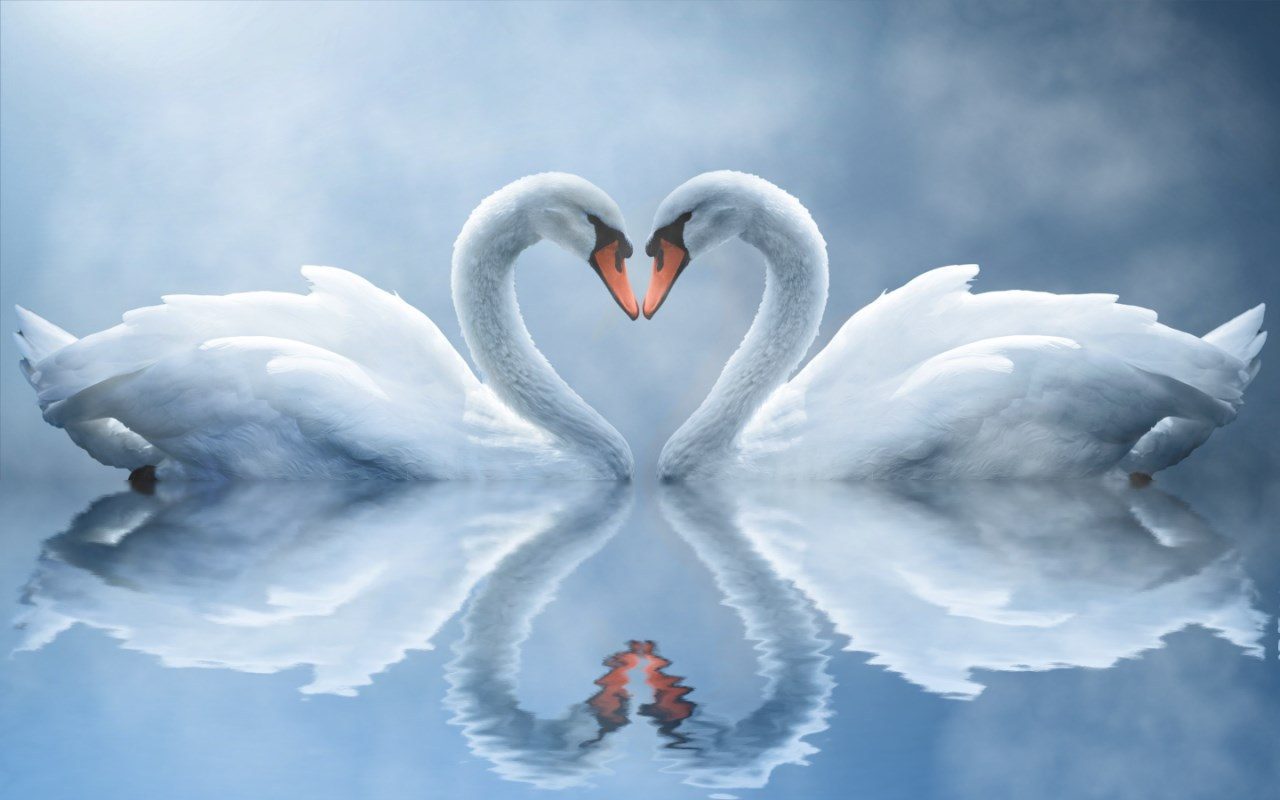 swan love wallpaper latest version - get best windows software